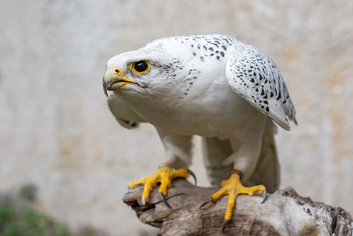 Young gyrfalcon may appear in the falconry center in Kamchatka in 2022