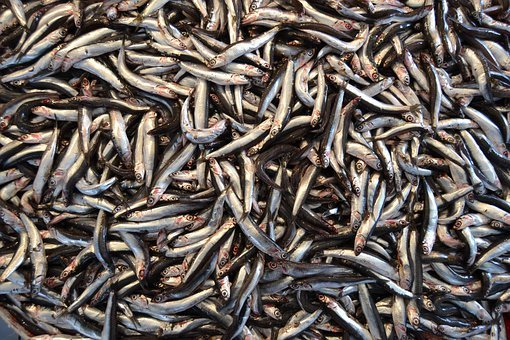 Mass release of anchovy was recorded in Primorye