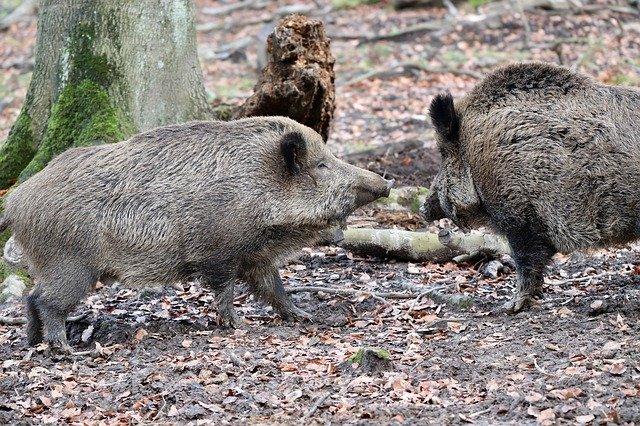 Quarantine for African swine fever removed in Khabarovsk Territory