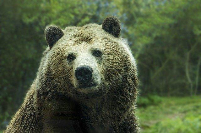 Scientist fell victim to bear attack in Kolyma