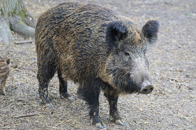 Several foci of swine fever continue to operate in Primorye