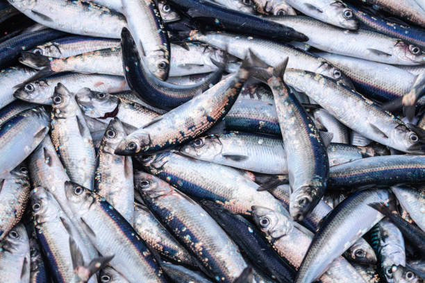In Russia, the catch of the cheapest fish decreased by 22%