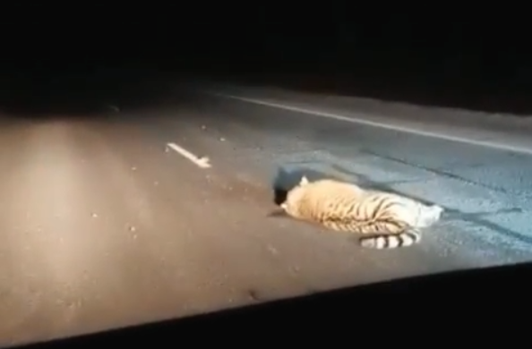 Amur tiger died under the wheels of a regular bus in Primorye