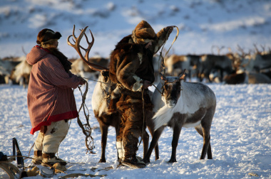 Chukotka residents are offered to supplement the law on reindeer herding
