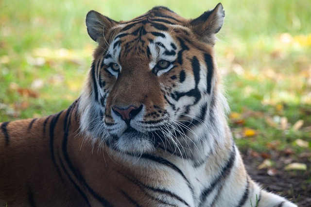Amur tiger habitat threatened due to gold mining