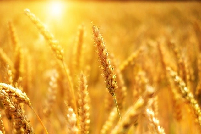 Experts predict a deficit of Russian wheat in the world