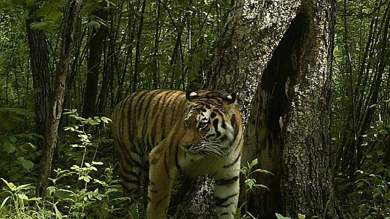 In Primorye, mushroom pickers escaped from a tiger on a tree