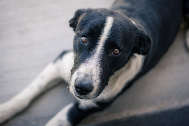 Dog tax proposed to introduce in Yakutsk