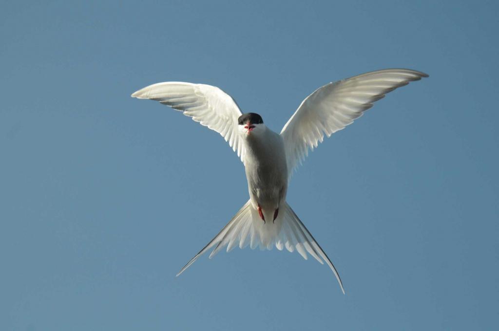 Polar Tern Sterna paradisaea.jpg