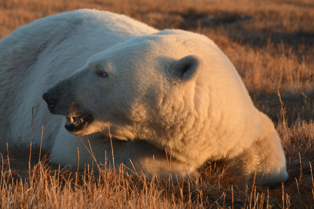 Polar bear in the tundra_Alexander Krasnov.jpg