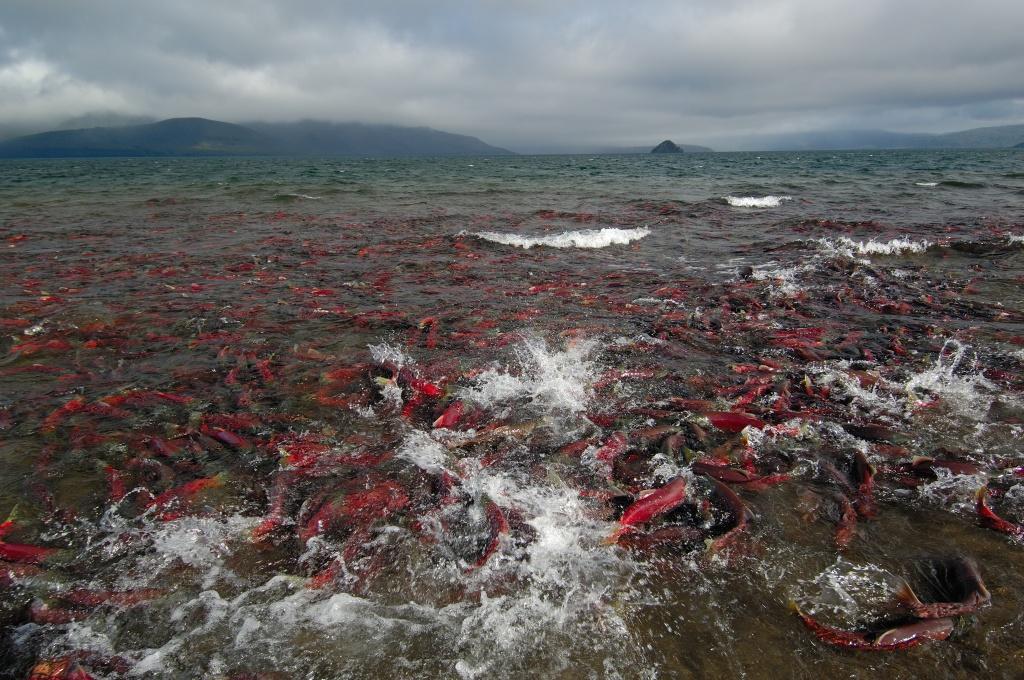 Igor Shpilenok - spawning on the Kuril lake (4) .jpg