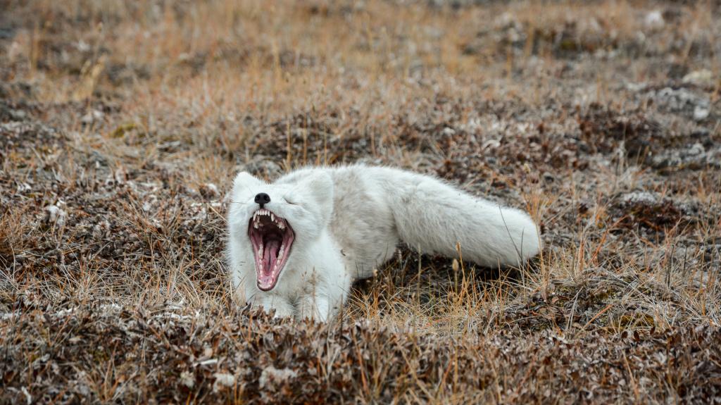 Arctic fox_Alexander Krasnov.jpg