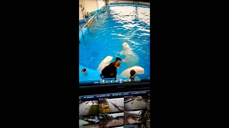 Coach beat two belugas at Primorsky Aquarium