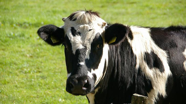 Cows of the most popular breed in the world were brought to Primorye