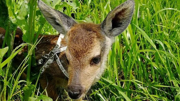 A roe deer was rescued from dogs in Primorye