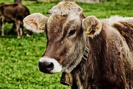 Rabies in farm animals revealed in Transbaikalia