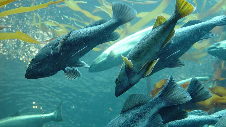About 800 million fry of Pacific salmons will release in the rivers this year the fish farmers of the Sakhalin region