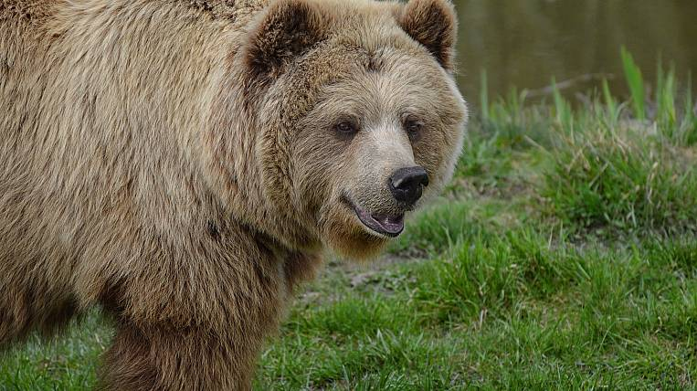 The first bear shelter in Russia will appear in Primorye
