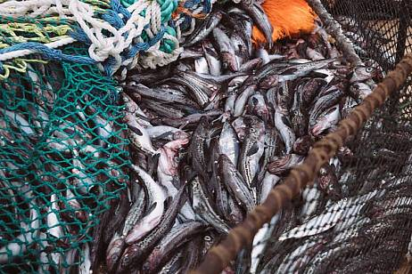 Quotas for pollock have been mastered by 50% in Primorye