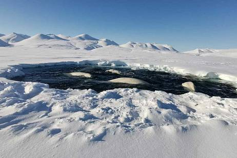 Beluga whales found themselves in an ice trap in Chukotka