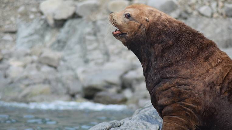 Chukotka is still considered a sea lion