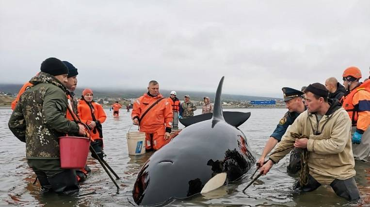 Rescuers and volunteers rescued a killer whale on a sandbank in Kolyma
