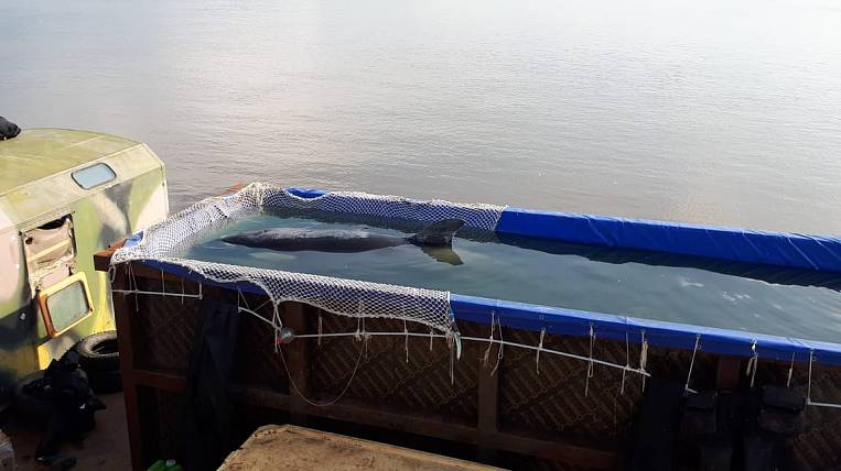 Three killer whales from the whale prison were taken to the shore of the Sea of Okhotsk