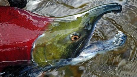 Sakhalin fish teaches Japanese ...