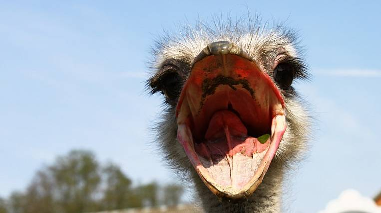 Khabarovsk farmer sues authorities because of ostriches