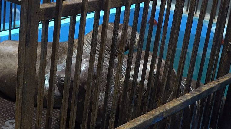 The prosecutor's office found the capture of walruses from a whale prison illegal