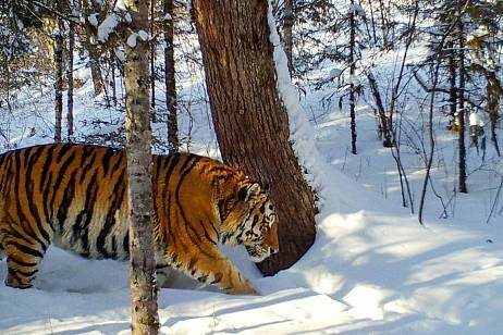 The decapitated body of a tiger found in the Khabarovsk Territory
