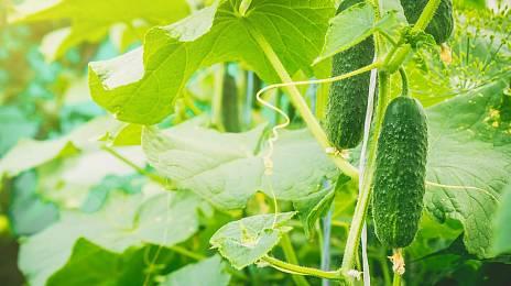 Aluminum fairy tale for cucumbers