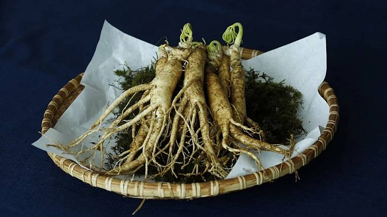 Global cultivation of ginseng will be in the Khabarovsk Territory