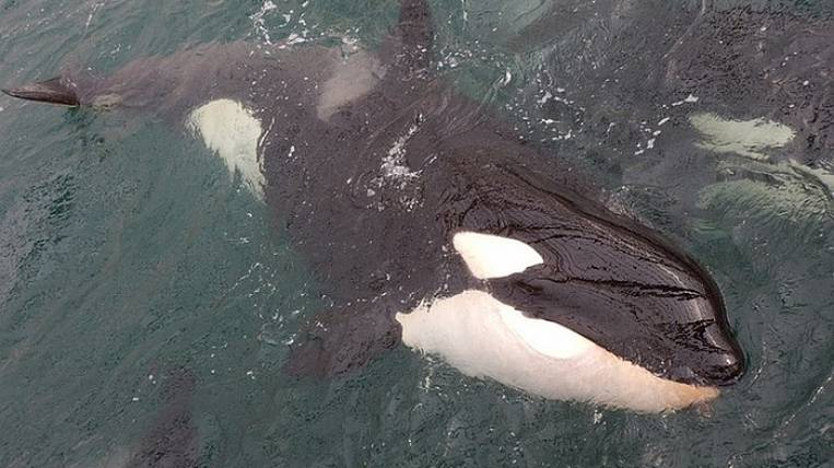 Animals released from whale prison returned to Shantara