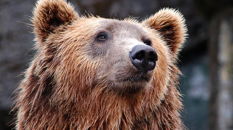 The bear lifted an elderly summer cottager on Sakhalin