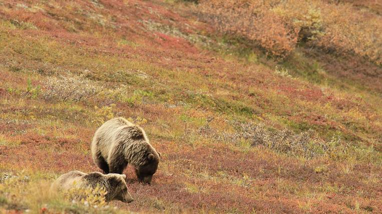 Four bears were seen at once near villages in Kamchatka