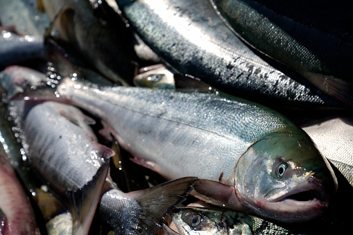 Scientists: analysis of auditory bones of chum salmon can help manage its reserves