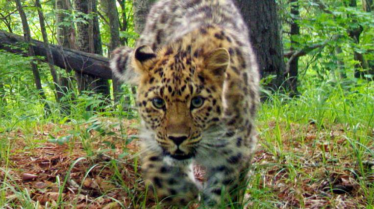 MTS will help save the Far Eastern leopard
