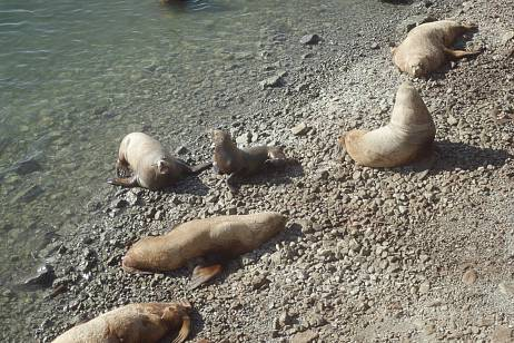 Steller sea lion rookery in Petropavlovsk will be protected from visitors