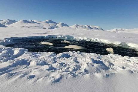 Fish approached belugas captured by ice in Chukotka