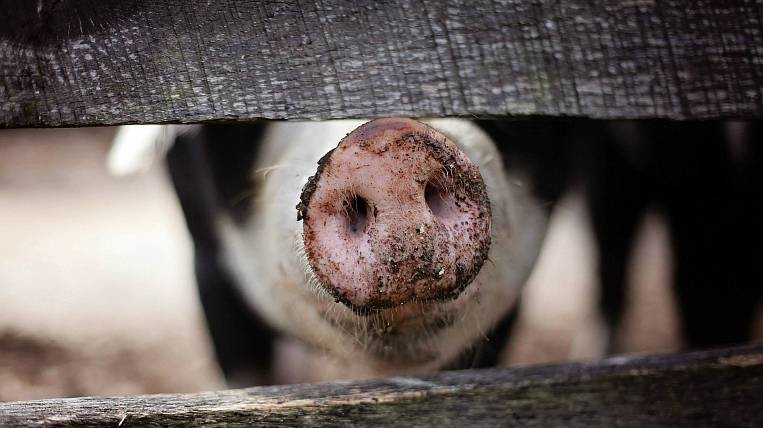 The reason for the mass death of pigs is being investigated in the Amur Region