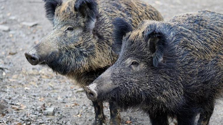New outbreak of African swine fever virus found in Primorye