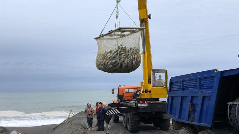 More than 300 tons of pink salmon were illegally harvested on Sakhalin