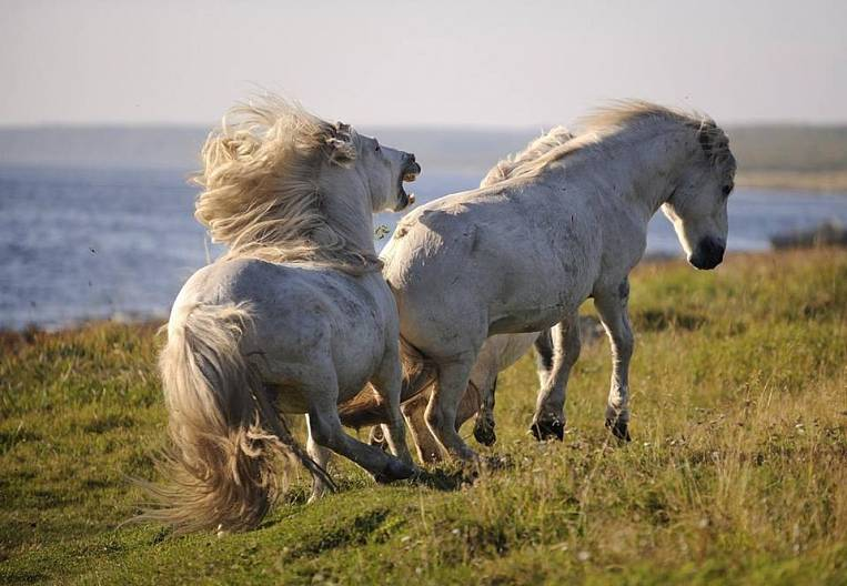 The Yakut horse is so independent :)