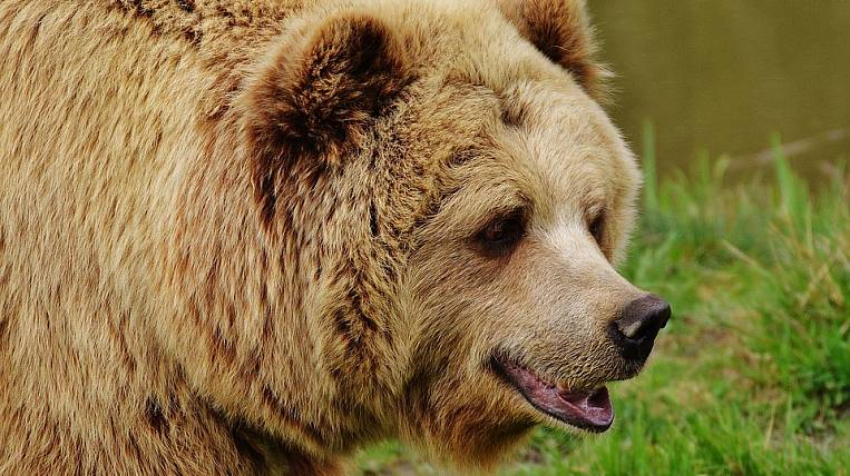 In Transbaikalia take emergency measures due to the invasion of bears