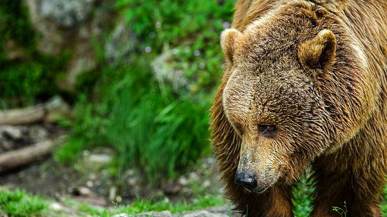 The man died after meeting with a bear in the Khabarovsk Territory