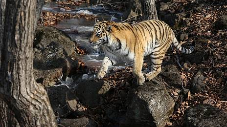 Coronavirus forced to seek guardian for Amur tiger