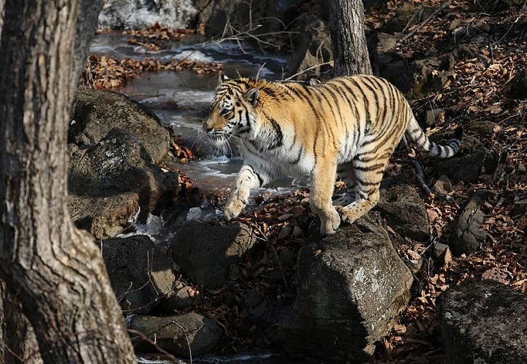 Coronavirus forced to seek guardian for Amur tiger