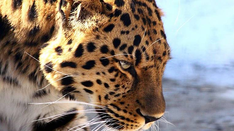 Primorsky faces a sentence for the skin of the Far Eastern leopard