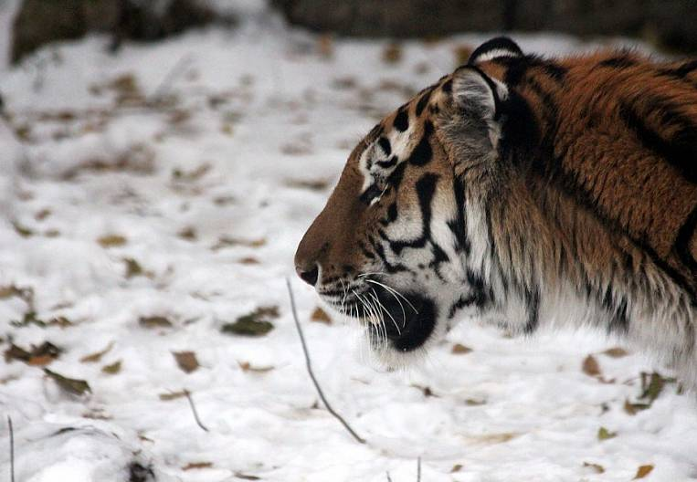 Striped forecast: there will be more tigers in the Far East